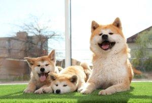 cute akita dog sitting artificial grass